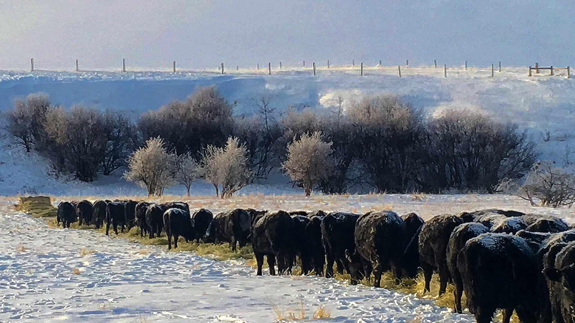Round bale feeding during winter
