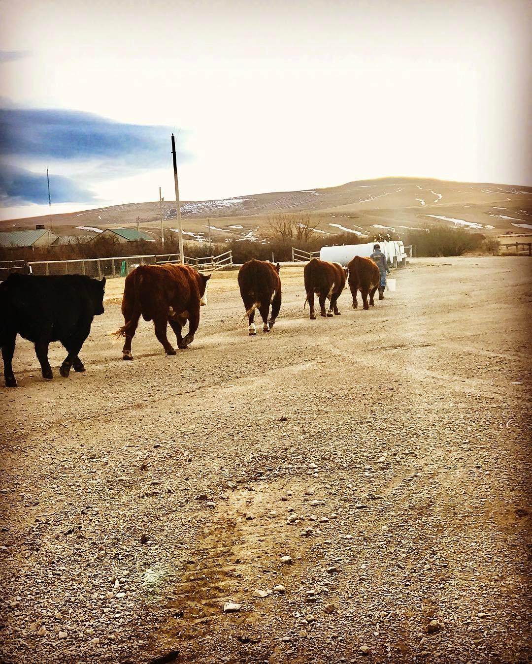 "Moving bulls. ""Big Babies""!"